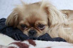 Un petit chien avec tristesse dans ses yeux images libres de droits
