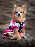 Un petit chien, un chien est un animal familier qui est populaire dans beaucoup de pays autour du monde images libres de droits