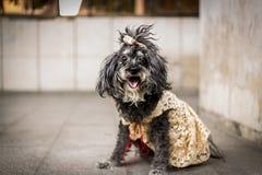 Un petit chien noir avec un ruban sur sa tête et une robe jaune ligne de mode pour des chiens Photo libre de droits
