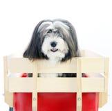 Un petit chien noir et blanc velu Image libre de droits