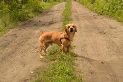 Un petit chien rouge se tient sur la route et regarde agressivement image stock