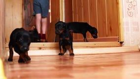 Un petit chien va à la caméra dans le mouvement lent Les chiots descendent le hall banque de vidéos