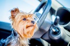 Un petit chien velu des terriers de Yorkshire de race dans l'intérieur de voiture attendant le propriétaire Déplacement en véhicu photos stock