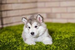 Un petit chiot de malamute se trouvant sur l'herbe verte Photographie stock