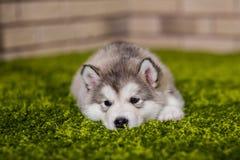 Un petit chiot de malamute se trouvant sur l'herbe verte Photos stock
