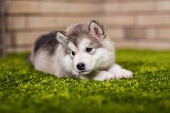 Un petit chiot de malamute se trouvant sur l'herbe verte Photos libres de droits