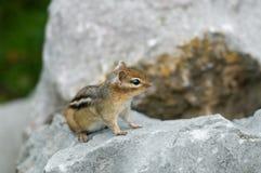 Un petit chipmunk Photographie stock