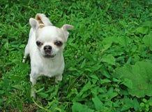 Un petit chiwawa de race de chien image stock
