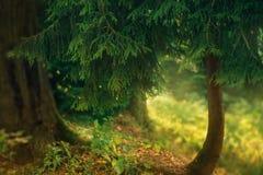 Un petit conifère fabuleux à la gamme étroite, une photo vert clair de nature de la Géorgie, la terre humide est couvert de la mo photo libre de droits