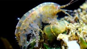 Un petit crustacé du genre Gammarus, attrapé par une petite actinie - un lineata de Diadumene d'envahisseur banque de vidéos