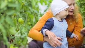 Un petit enfant examine des tomates en serre chaude banque de vidéos