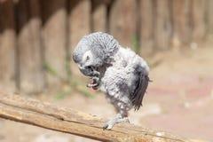 Un petit Erithacus de Psittacus Photo libre de droits