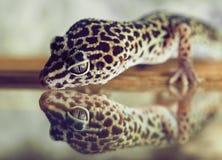 Un petit gecko regarde par réflexion dans un miroir dans la mini-serre photo libre de droits
