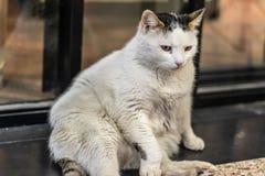 Un petit gros chat blanc refroidissant autour photo libre de droits