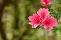 Un petit groupe d'Azelea rose fleurit - 2 photographie stock