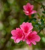 Un petit groupe de fleurs roses d'Azelea photo stock