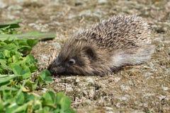 Un petit hérisson dans un jardin Photographie stock libre de droits