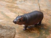 Un petit hippopotame Photographie stock libre de droits