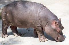 Un petit hippopotame dans le zoo Photographie stock