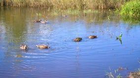 Un petit lac en parc, les arbres de jaunissement le long du rivage Canards sauvages nageant sur le lac La réflexion du ciel banque de vidéos