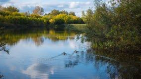 Un petit lac en parc, les arbres de jaunissement le long du rivage Canards sauvages nageant sur le lac La réflexion du ciel Photo stock