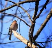 Un petit oiseau dans une branche d'arbre Image libre de droits