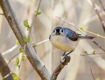 Un petit oiseau gris regardant l'appareil-photo avec la graine dans les pieds Images libres de droits