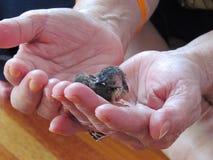 Un petit oiseau qui ne peut pas voler dort dans les mains de ceux qui le gardent Photo stock