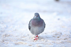 Un petit oiseau waling dans la neige Photos libres de droits