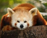 Un petit panda (firefox) Photos libres de droits