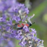 Un petit papillon noir et rouge, carniolica de Zygaena, sur les fleurs de la lavande photo stock