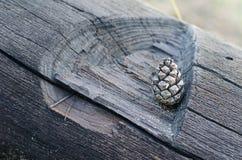 Un petit pin que le cône se situe dans le créneau d'un vieux tronc d'arbre a réduit avec une hache Foyer mou s?lectif image libre de droits