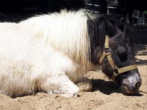 Un petit poney blanc somnolent photos stock