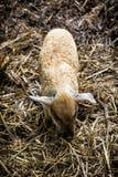 Un petit porc (domesticus de scrofa de Sus) dans la ferme Photographie stock libre de droits