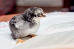 Un petit poulet pelucheux gris près d'un livre ouvert Enseignement à afficher photos libres de droits