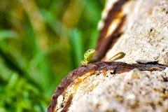 Un petit regard vert de llizard images libres de droits