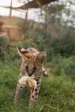 Un petit serval portant sa nourriture Image libre de droits