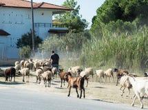 Un petit troupeau de chèvres et de moutons est sur la route Photographie stock libre de droits