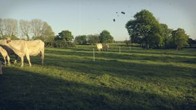 Un petit troupeau de vaches blanches, les taureaux et les veaux dans a fr?lent, vers la fin de l'apr?s-midi Effets de film de cru banque de vidéos