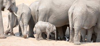 Un petit veau d'éléphant parmi un troupeau de grands éléphants en parc national de Hwange Images libres de droits