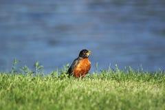 Un pettirosso sul riverbank Fotografia Stock