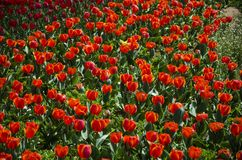 Un pezzo di tulipani rossi Immagini Stock Libere da Diritti