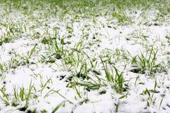 un phénomène naturel Chutes de neige inattendues de ressort et jeunes verts photographie stock libre de droits