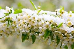 un phénomène naturel Chutes de neige inattendues de ressort et t fleurissant photo libre de droits