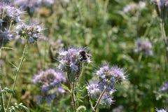 Un Phacelia florece en el campo en la luz trasera con el abejorro Fotografía de archivo