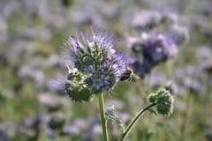 Un Phacelia florece en el campo en la luz trasera con la abeja Fotos de archivo libres de regalías