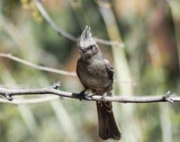 Un Phainopepla femelle mangeant un insecte de vol Photos stock