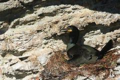Un Phalacrocorax Aristotelis de tapis à longs poils était perché au bord d'une falaise se reposant sur son nid Photo libre de droits