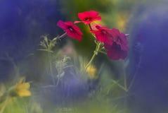 Un Phlox di 16 colori rossi Immagini Stock Libere da Diritti