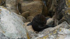 un phoque de fourrure se toilette banque de vidéos